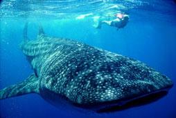 Whale Shark - Riviera Maya