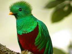 Quetzal - considered the most beautiful bird!