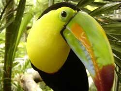 Bird Watching - Tucans