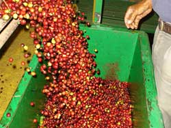 Doka Coffee Farm Tours