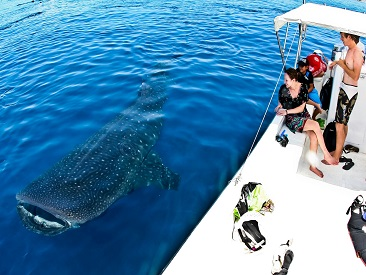Whale Shark - Cancun